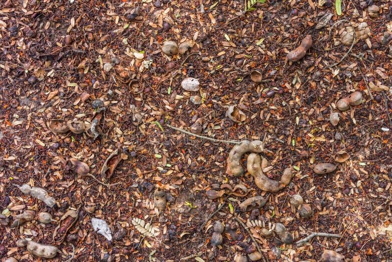 Fruits de Diospyros et de tamarinier sur une terre photos libres de droits