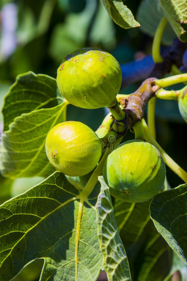 Fruits de figue sur un arbre images libres de droits