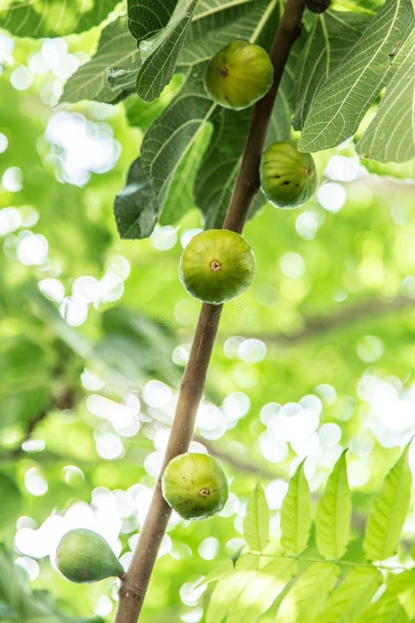 Fruits de figue sur un arbre photographie stock