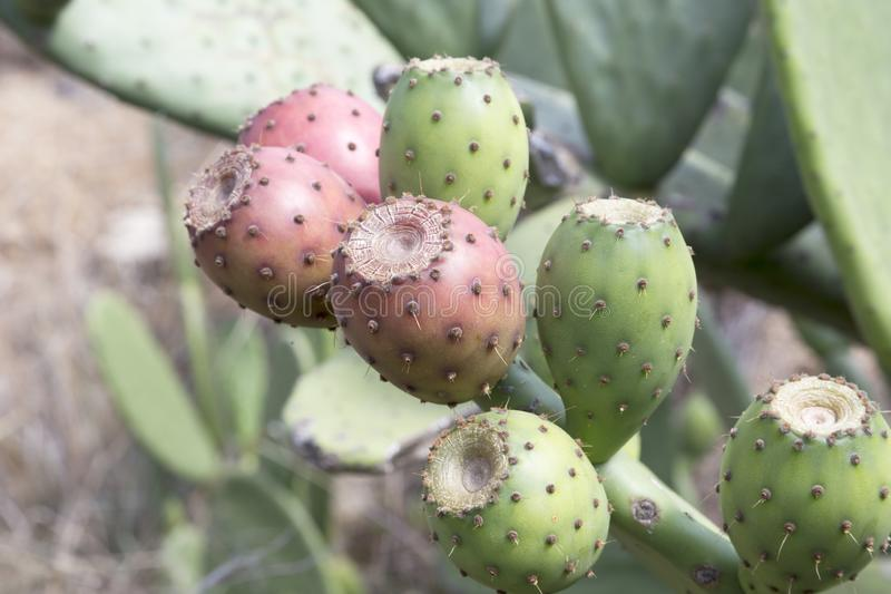 Fruits de figuier de barbarie Opuntia ficus-indica photo stock