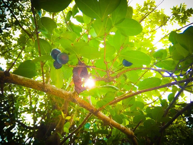 Fruits de jungle photo libre de droits