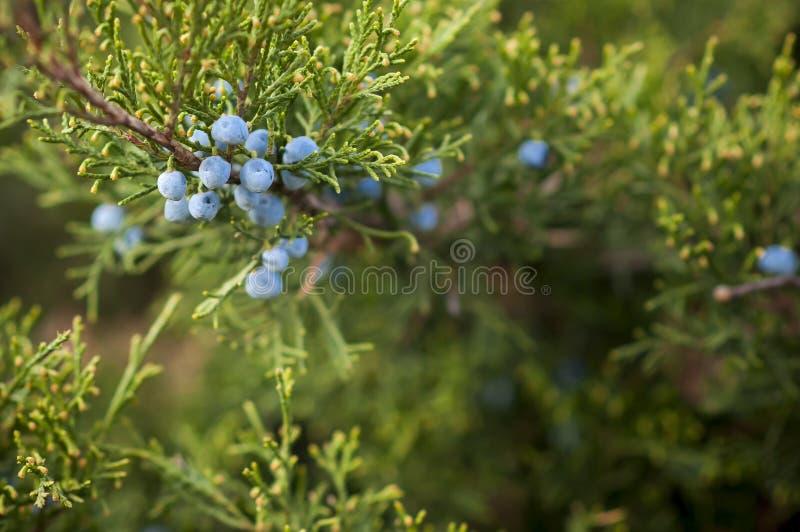 Fruits de juniperus de gen?vrier sur le buisson images libres de droits