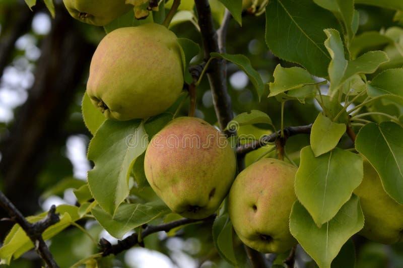 Fruits de maturation de coing sur un brin images stock