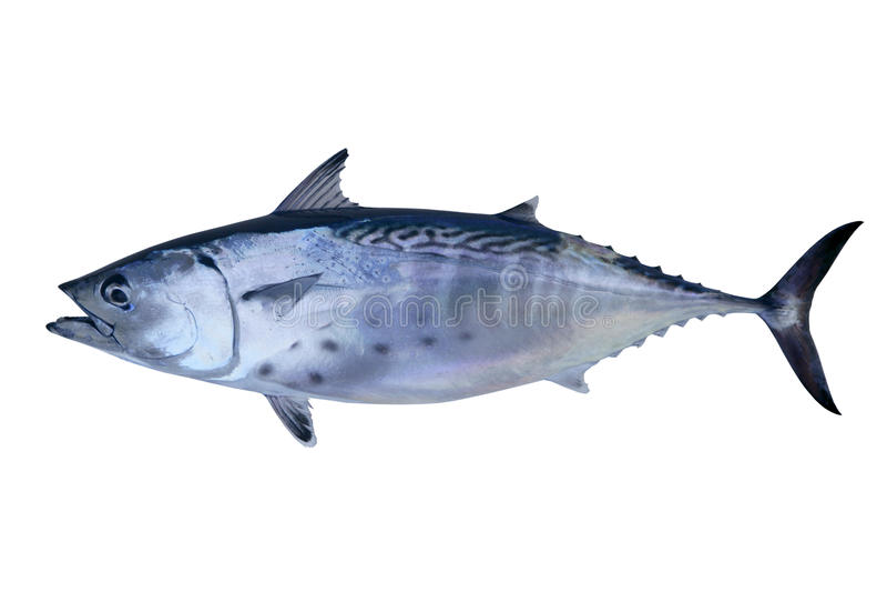 Fruits de mer de thons de loquet de petits thons photos stock