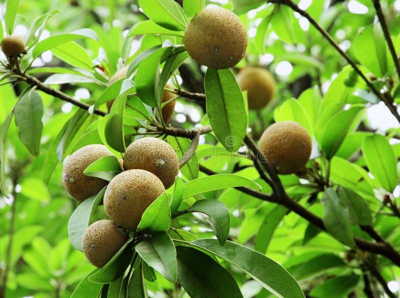 Fruits de sapotille photographie stock