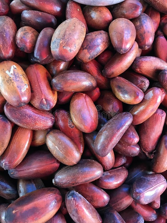 Fruits des tapos d'Elateriospermum ou du perah de Kra ou de Pra ou de Buah ou de l'arbre de Perah images libres de droits