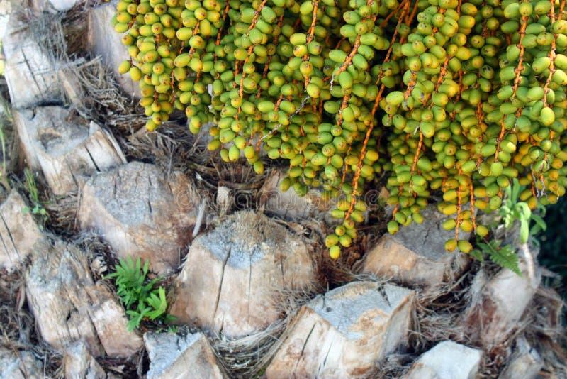 Fruits du palmier dattier photos stock