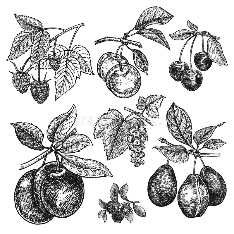 Fruits et baies réalistes d'illustration de vecteur de vintage illustration libre de droits