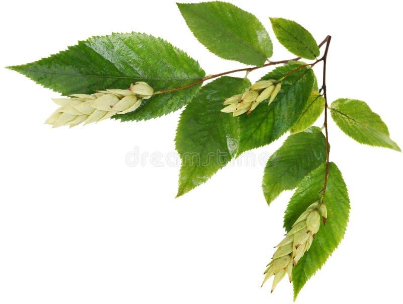 Fruits et feuilles d'Ironwood images libres de droits