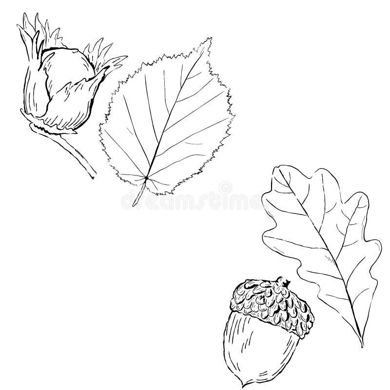 Fruits/feuilles de noisette et de chêne illustration libre de droits