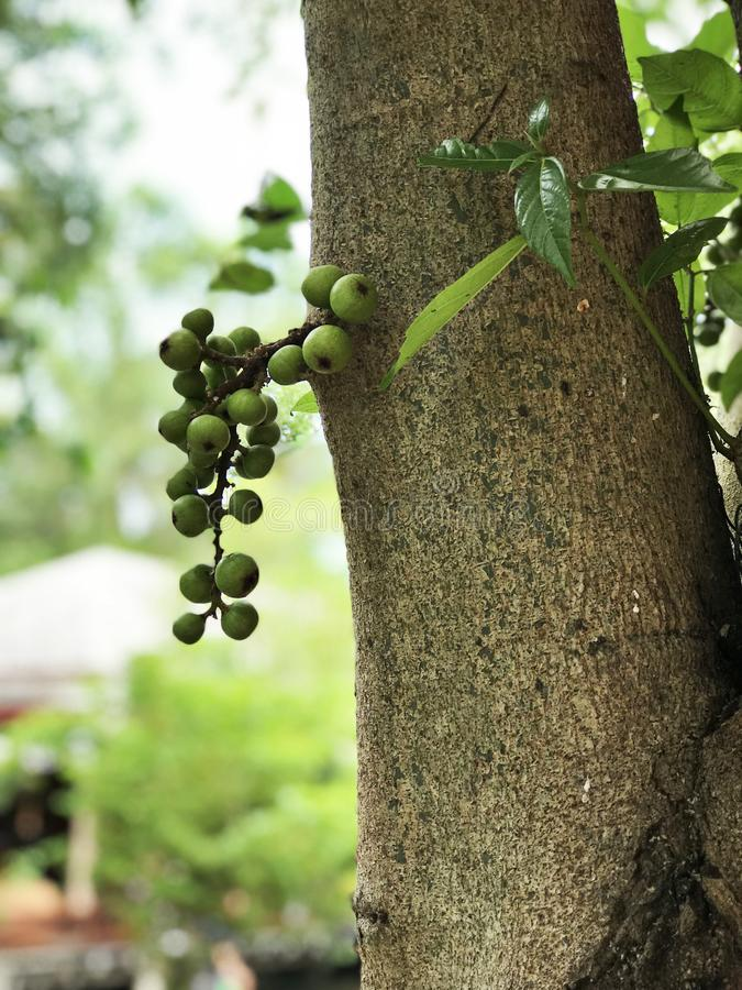 Fruits of Ficus racemosa or Cluster fig tree or Indian fig tree. royalty free stock photo
