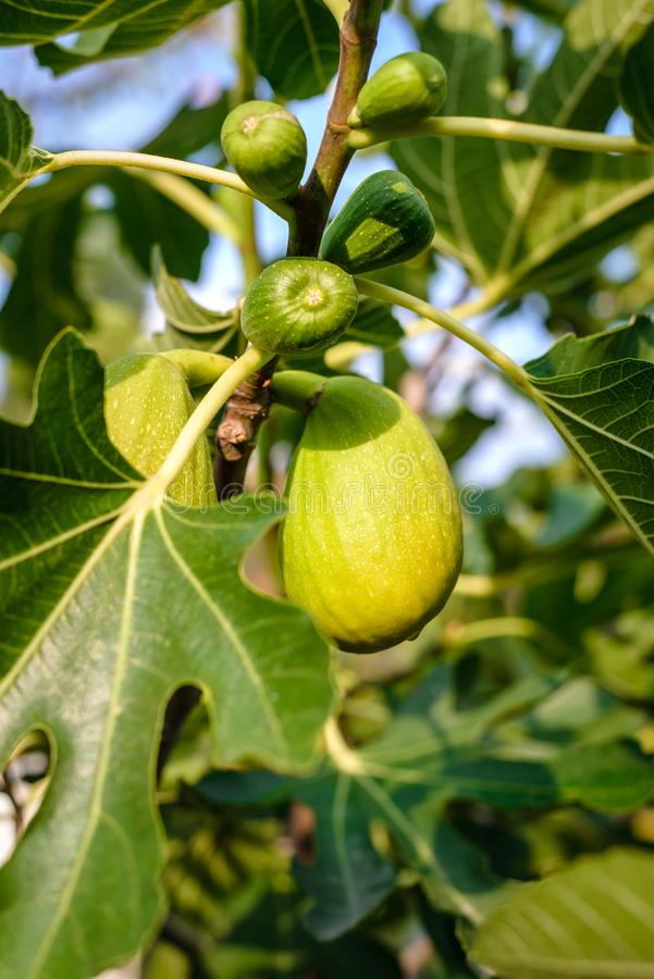 Fruits of figs in the garden stock images