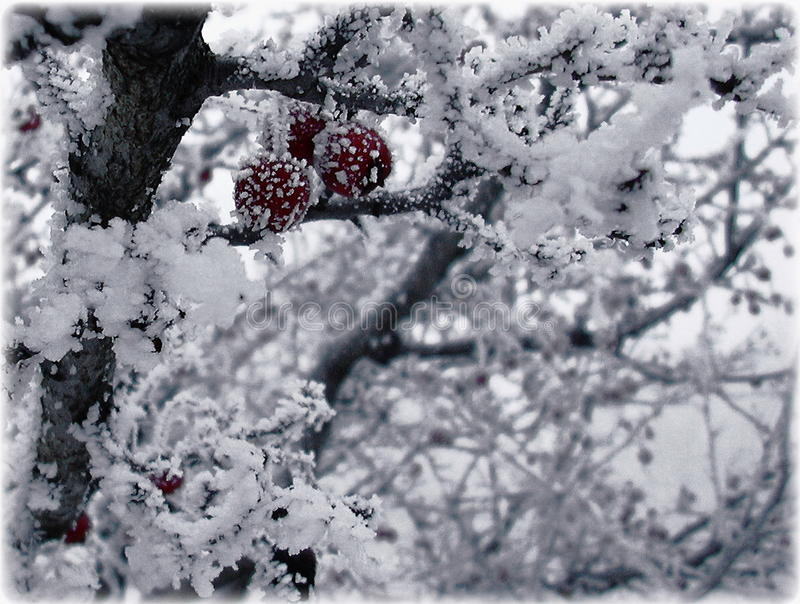 Fruits of hawthorn in ice stock photography