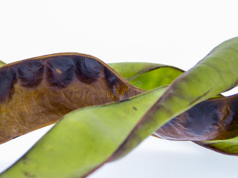 Fruits of the honey locust stock images