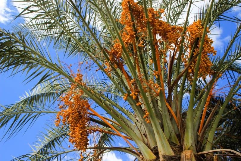Fruits jaunes non mûrs de date sur le palmier dattier photo stock