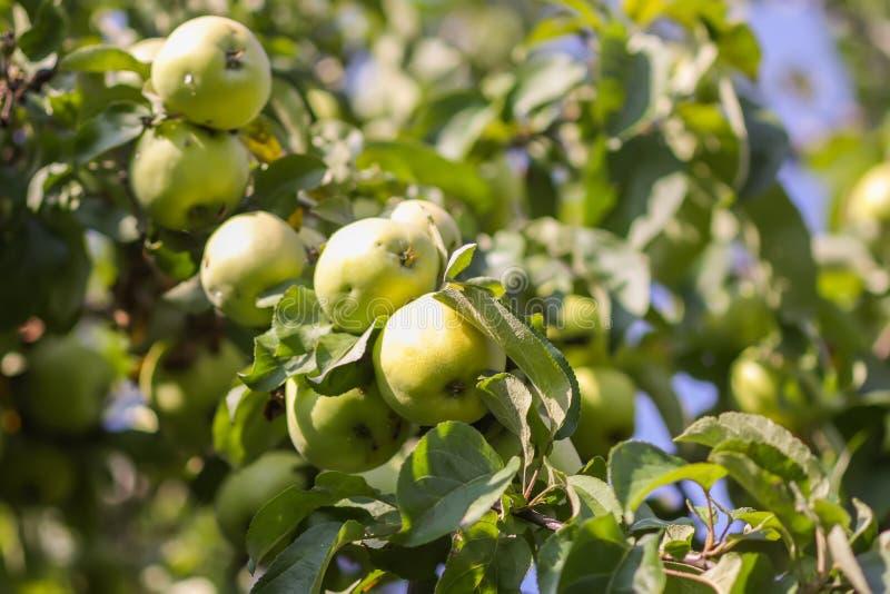 Fruits juteux mûrs sur un arbre dans le jardin d'été Pommes organiques fraîches s'élevant dans la campagne image libre de droits