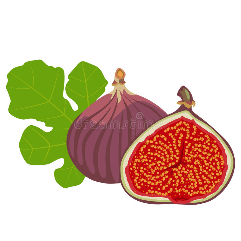 Fruits and leaves of fig. Fig - flowers, whole fruit and cut pieces vector illustration