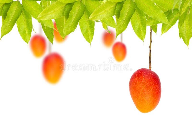 Fruits mûrs rouges de mangue accrochant sur l'arbre images libres de droits