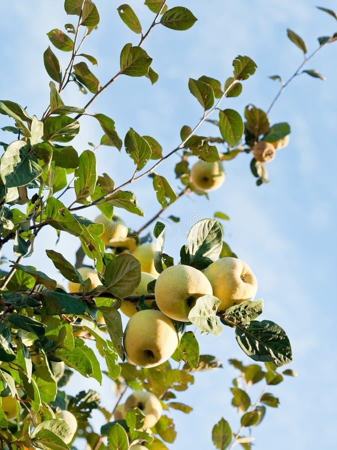 fruits m rs de coing de pomme sur l 39 arbre image stock image du branchement membre 34252051. Black Bedroom Furniture Sets. Home Design Ideas