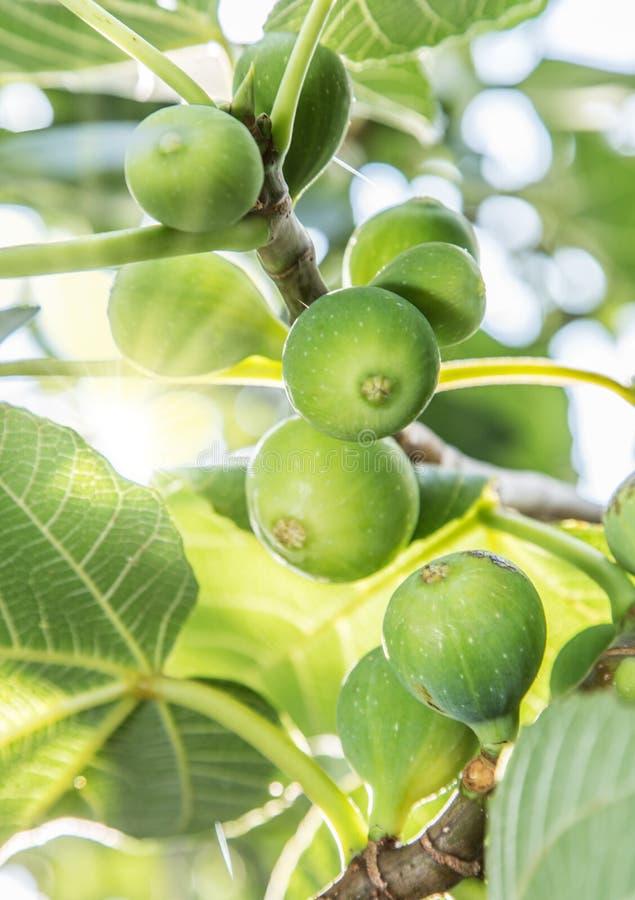 Fruits mûrs de figue sur l'arbre photographie stock libre de droits