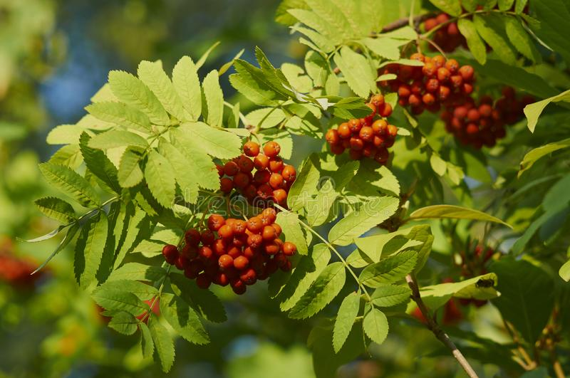 Clusters of mountain ash on a branch. Fruits of mountain ash in the city park royalty free stock images
