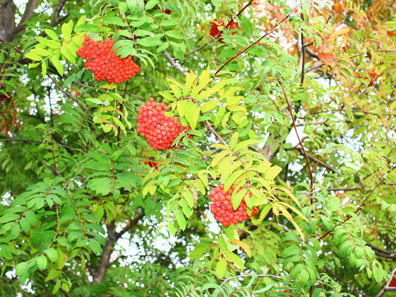 The fruits of mountain ash. Hanging on a tree in autumn stock photography