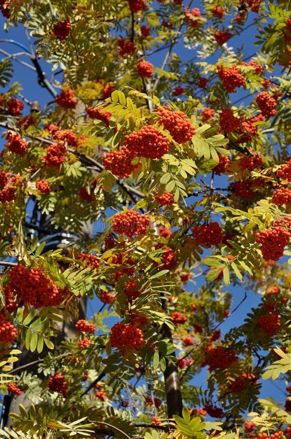 Fruits of mountain ash. Tree stock photos