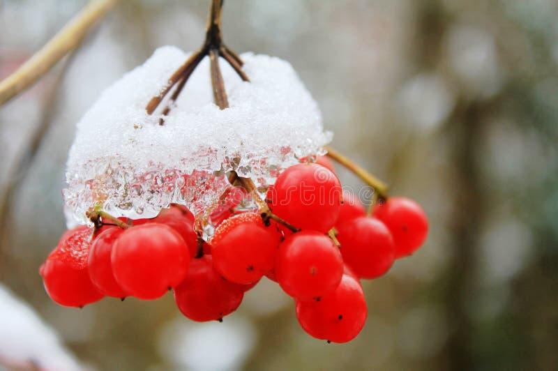 Fruits of mountain - ash under snow stock photos