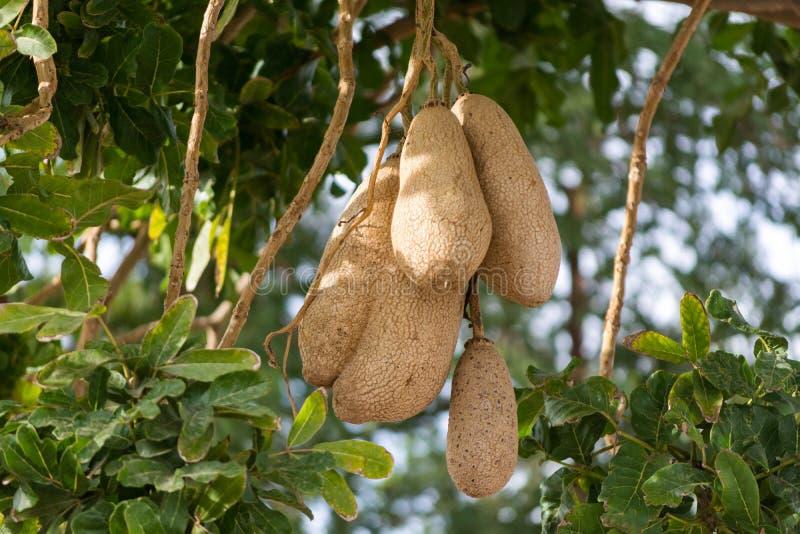 Fruits non comestibles d'arbre à feuilles persistantes de saucisse, africana de Kigelia photos stock