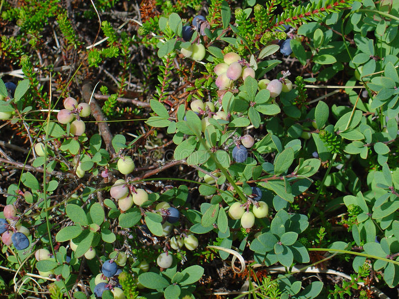 Download Fruits Of The Northern Bilberry Stock Photo - Image: 18343936