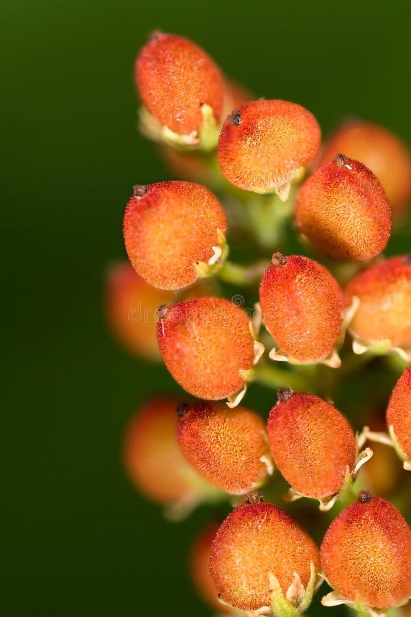 Free Fruits Of Wild Flower Royalty Free Stock Photos - 5558128