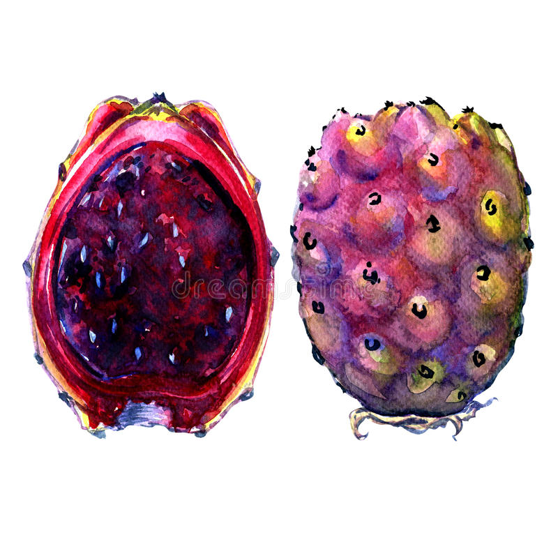 Fruits of Opuntia ficus-indica, red cactus pears on white royalty free illustration