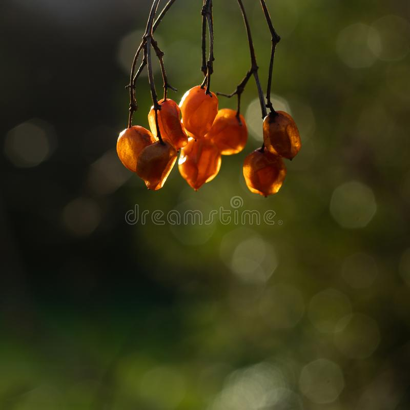 Fruits orange on green background. Sun light shining. No comestible nature on a branch suspended stock photography