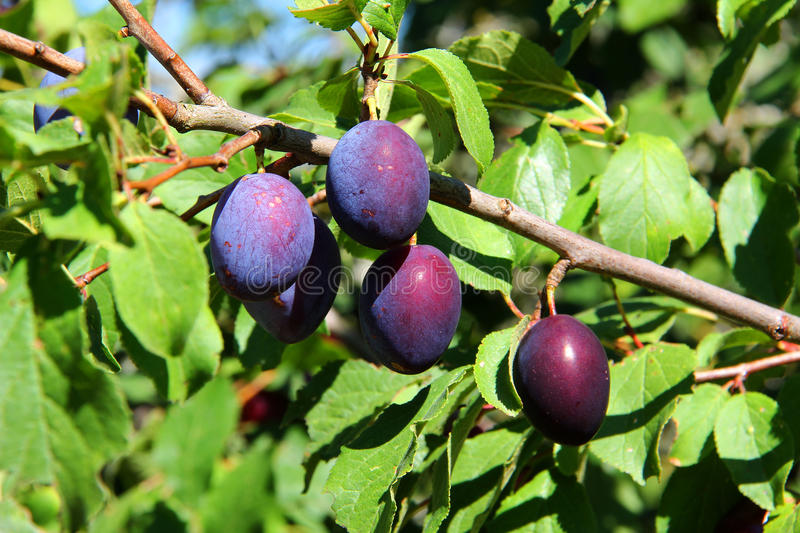 Download Fruits of plum tree stock photo. Image of branch, agriculture - 46605404