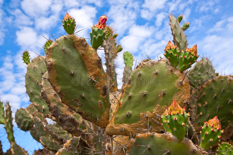 Download Fruits Of Prickly Pear Royalty Free Stock Images - Image: 34244269