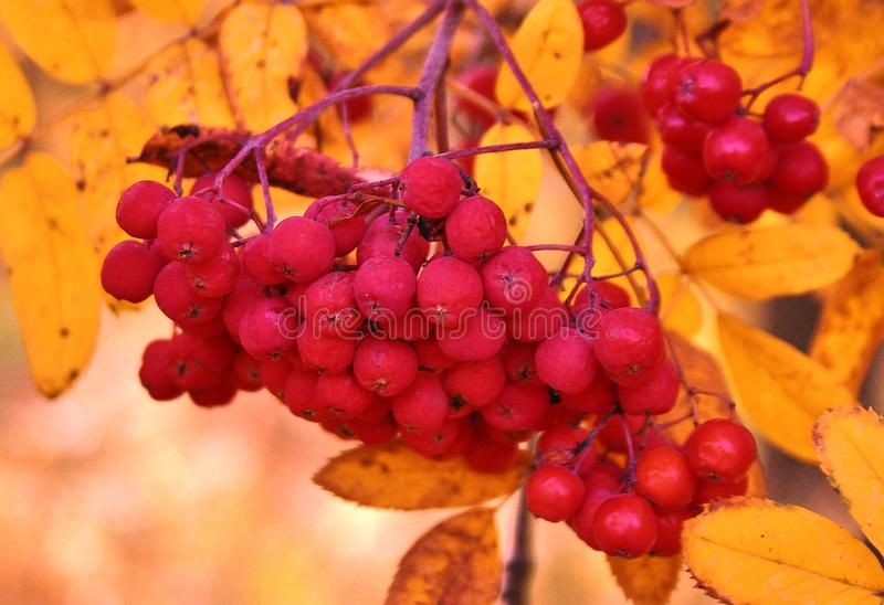 Fruits of red mountain ash. Fruits of red mountain ash on a branch royalty free stock photography