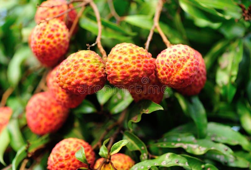 fruits rouges de litchi l 39 arbre photo stock image 41702426. Black Bedroom Furniture Sets. Home Design Ideas
