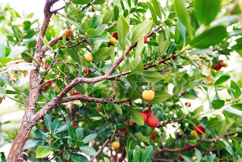 Fruits rouges et jaunes de la fraise image stock