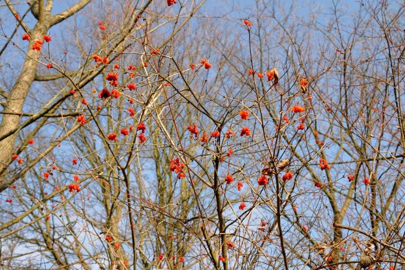 Fruits rouges sur brindilles photo stock