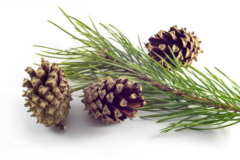 Fruits and sprig of pine on a white background. Close-up royalty free stock image