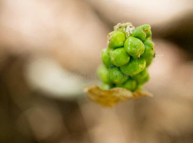 Fruits sur une usine herbeuse en nature photo libre de droits