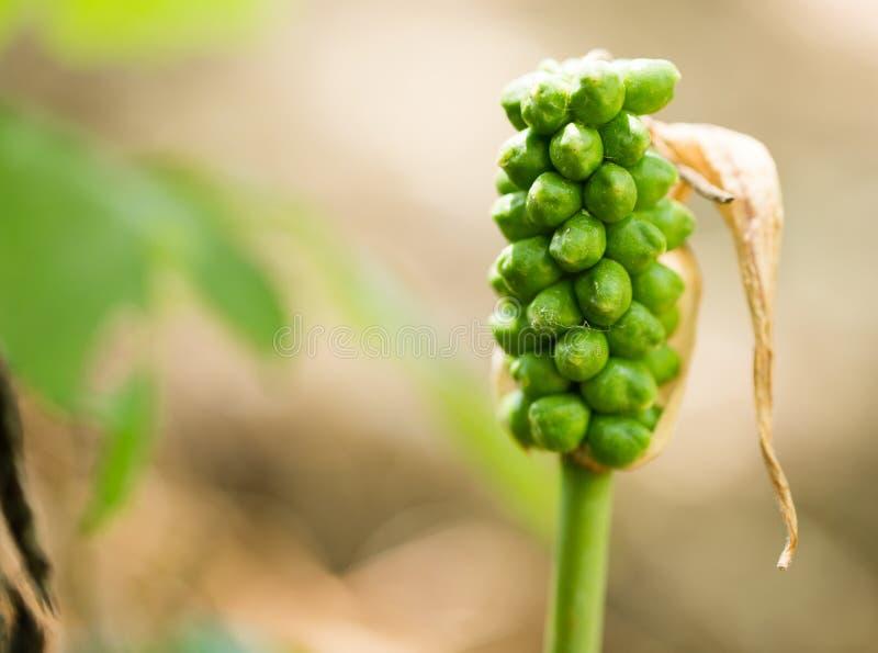 Fruits sur une usine herbeuse en nature images libres de droits