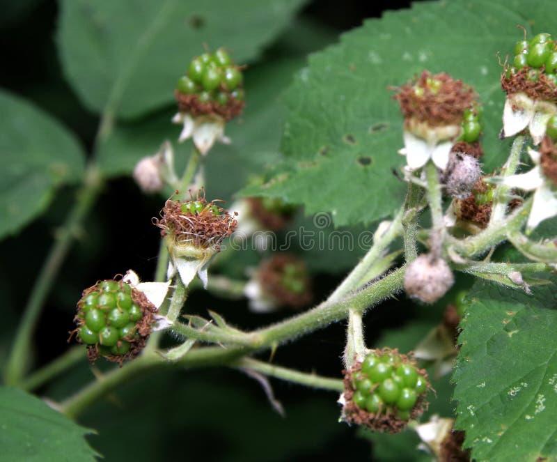 Fruits très jeunes de mûre photos stock