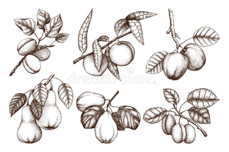 Vintage collection of ripe fruits and berries - apple, pear, plum, peach, apricot trees sketches. Hand drawn harvest illustration royalty free illustration