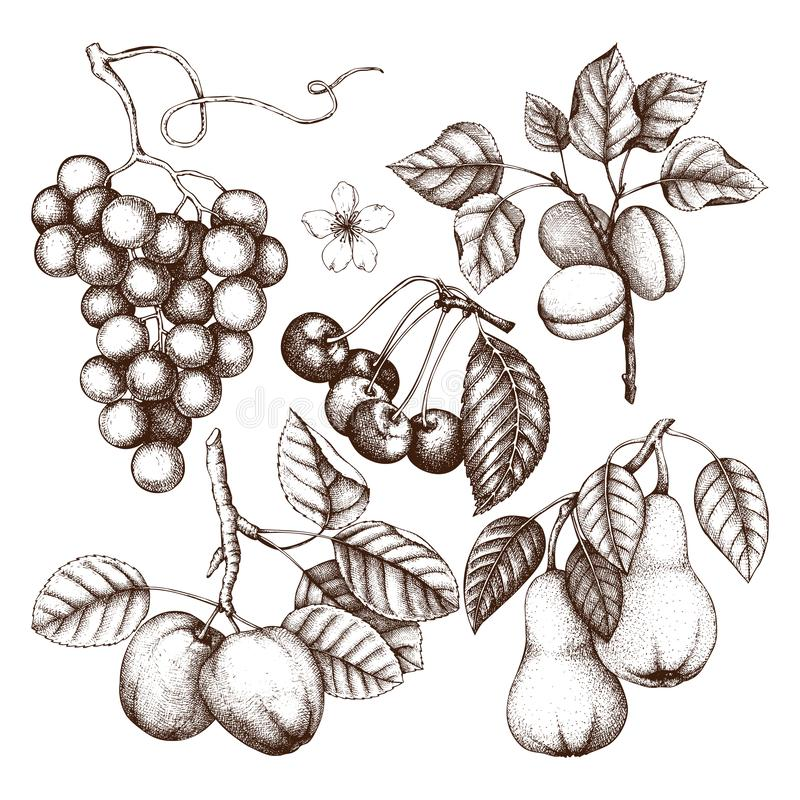 Vintage collection of ripe fruits and berries illustrations - apple, pear, cherry, peach, apricot trees. Hand drawn harvest sketc. H set. Summer or autumn design royalty free illustration