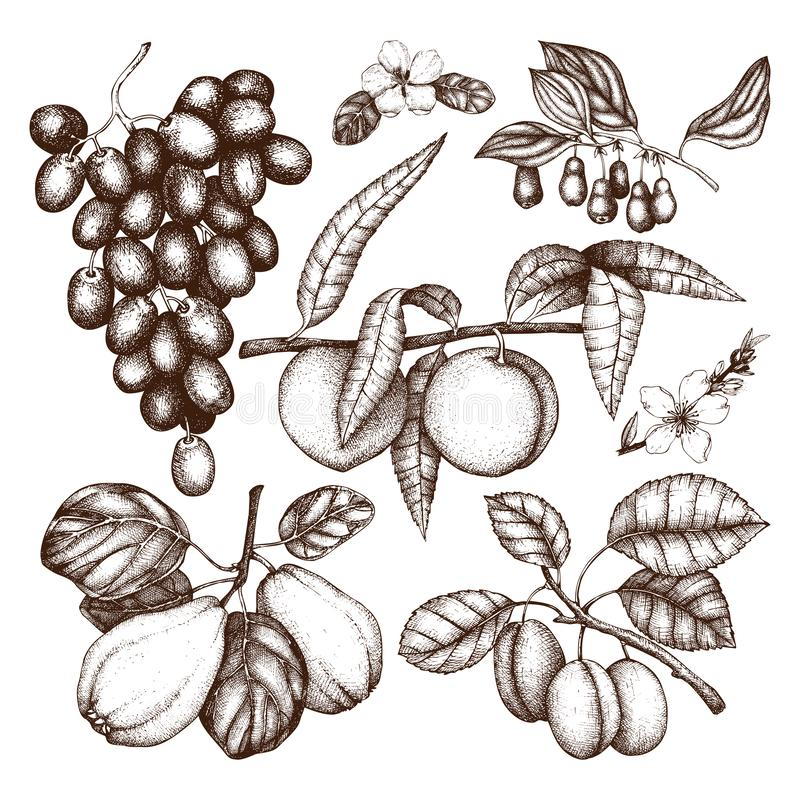 Vintage collection of ripe fruits and berries illustrations - apple, pear, cherry, peach, apricot trees. Hand drawn harvest sketc. H set. Summer or autumn design stock illustration