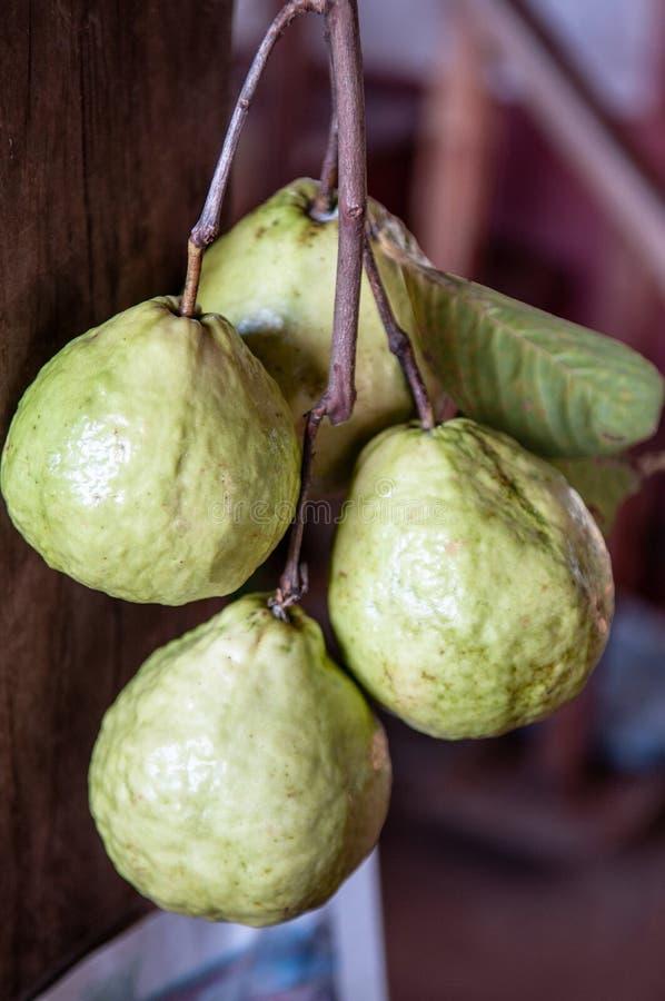 Fruits tropicaux de psidium guajava ou de goyave commune photographie stock libre de droits