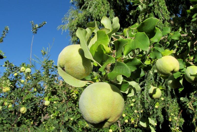 fruits verts de coing de pomme sur l 39 arbre photo stock image du normal flore 78152382. Black Bedroom Furniture Sets. Home Design Ideas