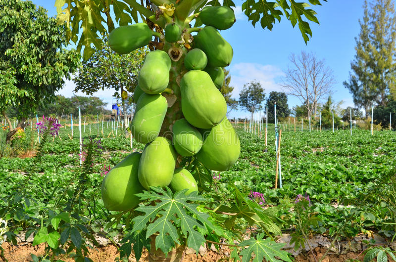 Fruits verts de papaye sur l'arbre photographie stock