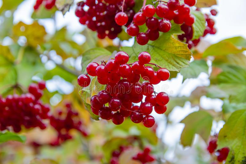 Fruits of viburnum on a tree branch stock images